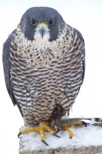 faucon pélerin peale (4)